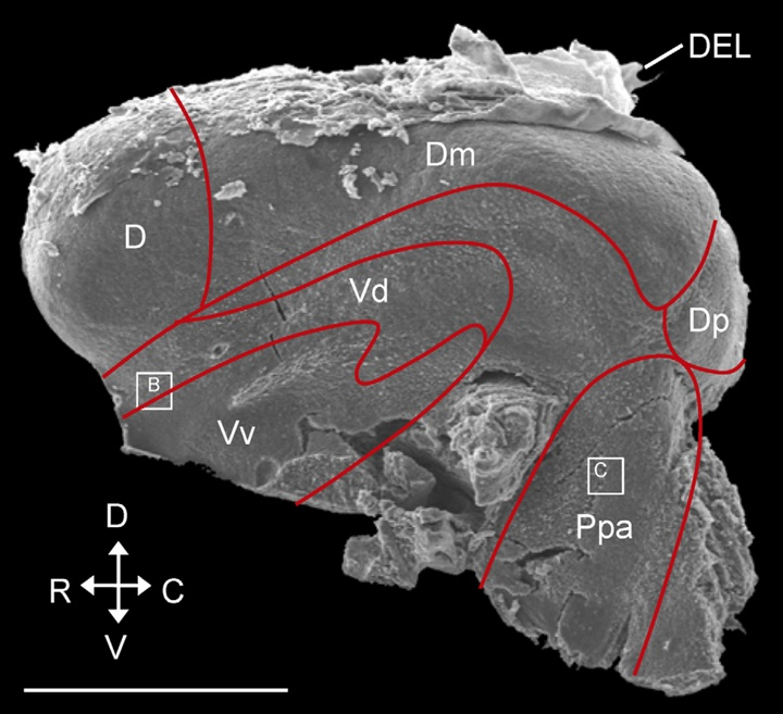 The Cellular Composition of Neurogenic Periventricular Zones in the Adult Zebrafish Forebrain
