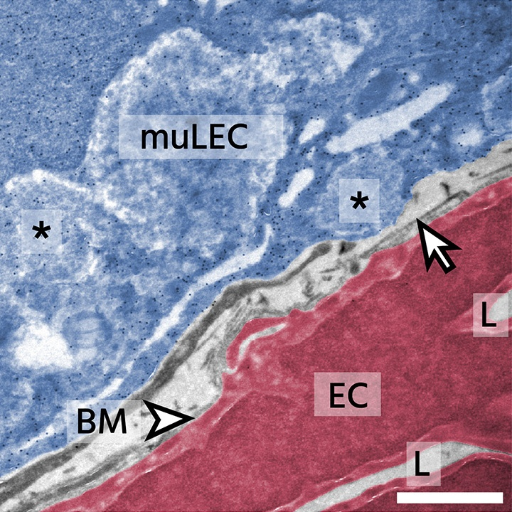 Mural lymphatic endothelial cells regulate meningeal angiogenesis in the zebrafish