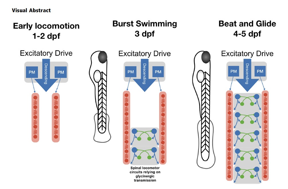 Spatiotemporal Transition in the Role of Synaptic Inhibition to the Tail Beat Rhythm of Developing Larval Zebrafish